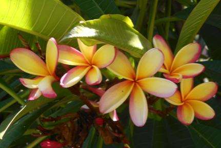 Die wunderschoenen Frangipani Blüten